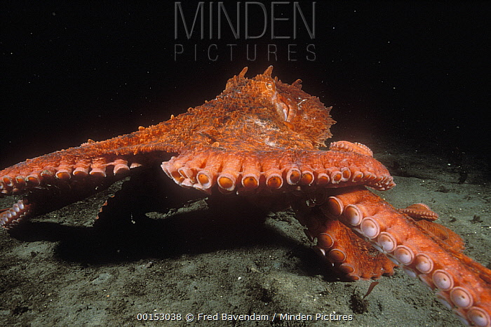 Pacific Giant Octopus (Enteroctopus dofleini) scurrying across the ocean floor as it forages for crabs, Quadra Island, British Columbia, Canada  -  Fred Bavendam