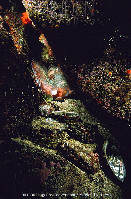 Pacific Giant Octopus (Enteroctopus dofleini) entrance to den is littered with discarded Abalone shells from its previous meals, Hurst Island, Canada  -  Fred Bavendam