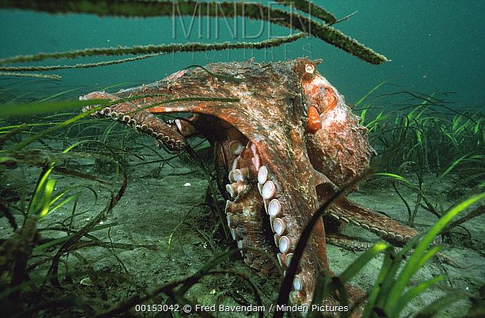 Pacific Giant Octopus (Enteroctopus dofleini) foraging on ocean bottom in a sea grass bed, Quadra Island, British Columbia, Canada  -  Fred Bavendam