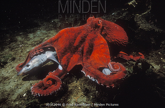 Pacific Giant Octopus (Enteroctopus dofleini) scavenging on a dead Blue Dog (Squalus acanthias), Campbell River, British Columbia, Canada  -  Fred Bavendam