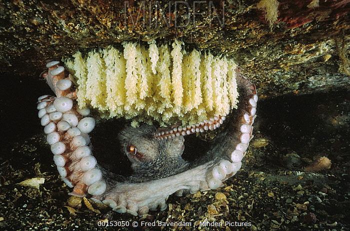 Pacific Giant Octopus (Enteroctopus dofleini) female guarding her eggs, Quadra Island, British Columbia, Canada  -  Fred Bavendam
