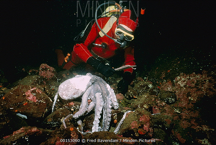 Pacific Giant Octopus (Enteroctopus dofleini) dead female with unhatched eggs with marine biologist Jim Cosgrove, Saanich Inlet, Canada  -  Fred Bavendam