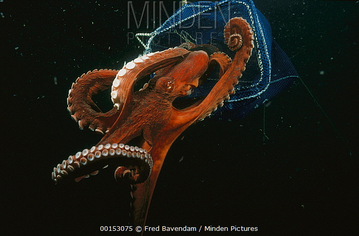Pacific Giant Octopus (Enteroctopus dofleini) eight kilograms with four foot arm span, squeezing out though a hole 50 millimeters x 100 millimeters, Quadra Island, British Columbia, Canada  -  Fred Bavendam