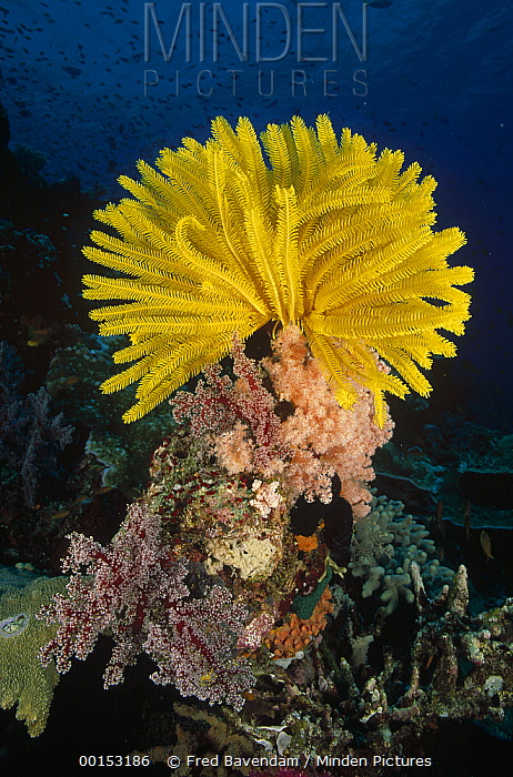 Feather Star (Oxycomanthus bennetti) clinging to a coral prominence where it can feed in the currents, Milne Bay, Papua New Guinea  -  Fred Bavendam