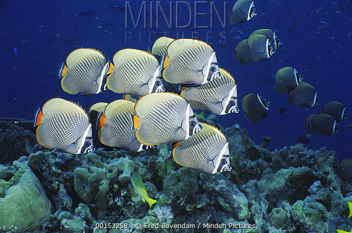 Collared Butterflyfish (Chaetodon collare) school, Andaman Sea, Thailand  -  Fred Bavendam