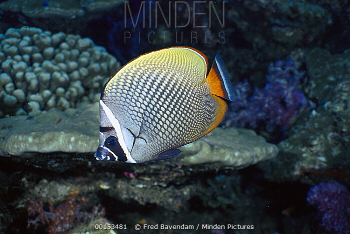 Collared Butterflyfish (Chaetodon collare) portrait, Andaman Sea, Thailand  -  Fred Bavendam