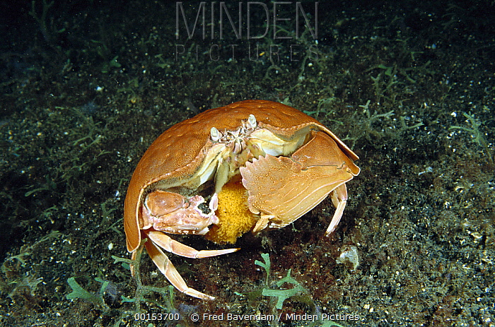 Giant Box Crab (Calappa calappa) female carrying a large clutch of bright orange eggs beneath her abdomen, Lembeh Strait, Indonesia  -  Fred Bavendam