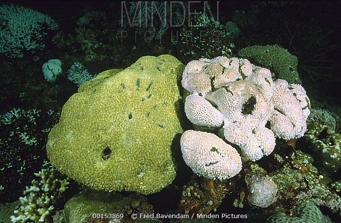 Hump Coral (Porites sp) one healthy, left, and the other badly bleached, Lembeh Strait, Indonesia  -  Fred Bavendam
