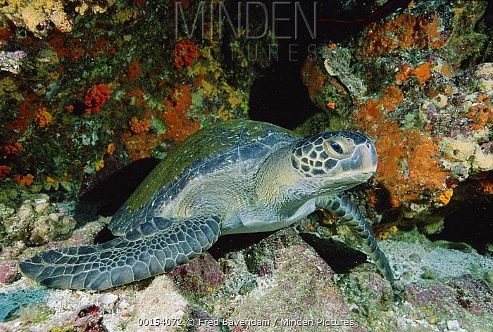 Green Sea Turtle (Chelonia mydas), Galapagos Islands, Ecuador  -  Fred Bavendam