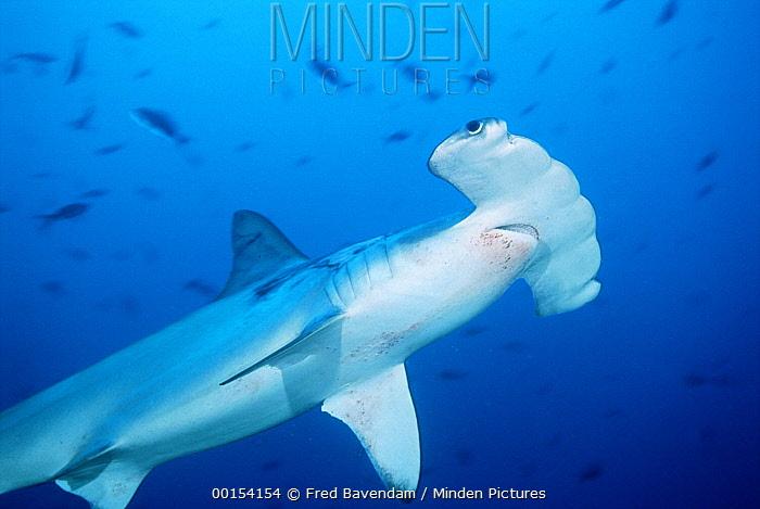 Scalloped Hammerhead Shark (Sphyrna lewini) swimming among reef fish, Cocos Island, Costa Rica  -  Fred Bavendam