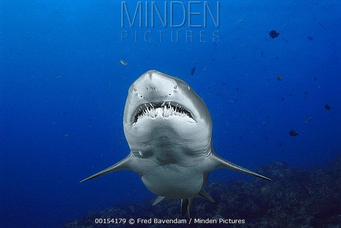 Grey Nurse Shark (Carcharias taurus) underwater portrait, New South Wales Australia  -  Fred Bavendam