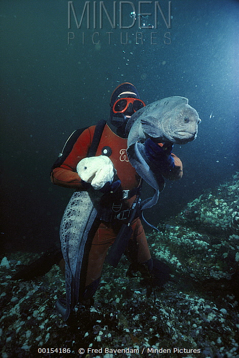 Wolf Eel (Anarrhichthys ocellatus) pair, white male and grey female, held by diver, Hunt Rock, British Columbia, Canada  -  Fred Bavendam