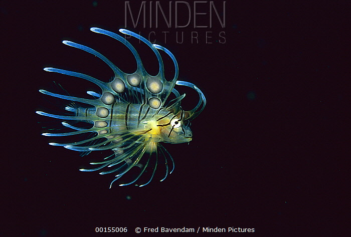 Spotfin Lionfish (Pterois antennata) juvenile, Bali, Indonesia  -  Fred Bavendam