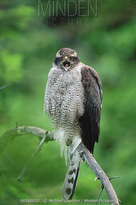 Northern Goshawk (Accipiter gentilis) calling while perching on branch, North America  -  Michael Quinton