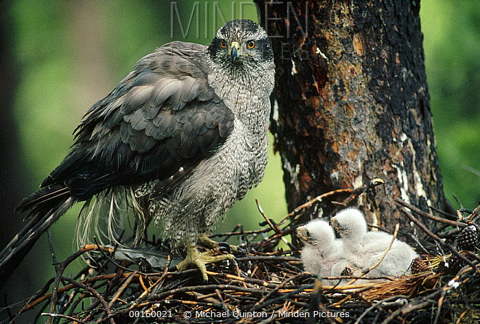 Northern Goshawk (Accipiter gentilis) parent at nest with chicks, North America  -  Michael Quinton