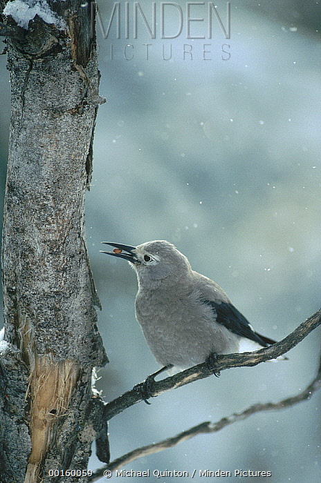 Clark's Nutcracker (Nucifraga columbiana) feeding on Whitebark Pine (Pinus albicaulis) nuts during snowfall in winter, Idaho