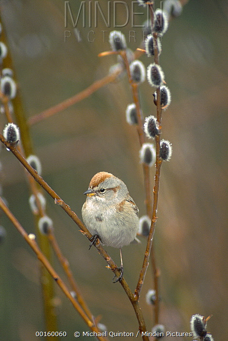 American Tree Sparrow (Spizella arborea) perching in Pussy Willow (Salix discolor) during snowfall, Alaska