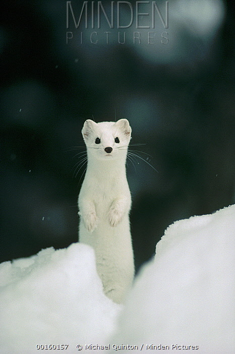 Long-tailed Weasel (Mustela frenata) camouflaged in white winter coat, Idaho