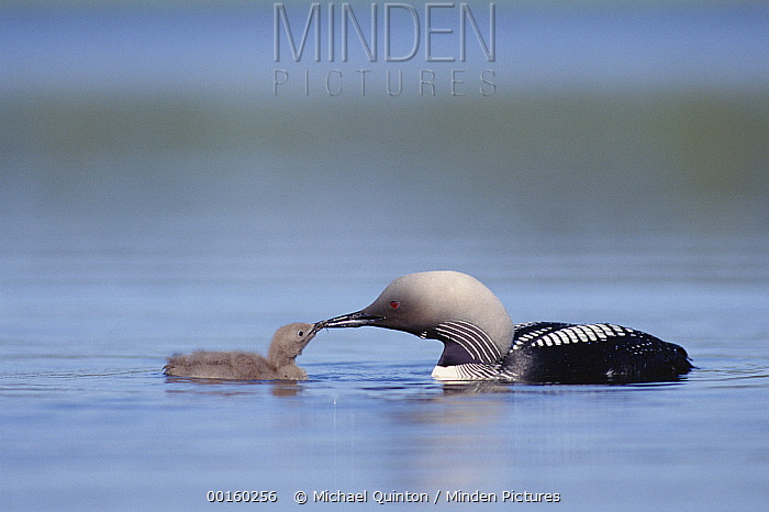Pacific Loon (Gavia pacifica) parent feeding chick, North America  -  Michael Quinton