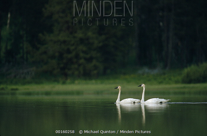 Trumpeter Swan (Cygnus buccinator) pair on lake, North America  -  Michael Quinton