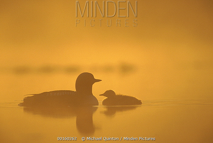 Pacific Loon (Gavia pacifica) parent and chick on misty lake, North America
