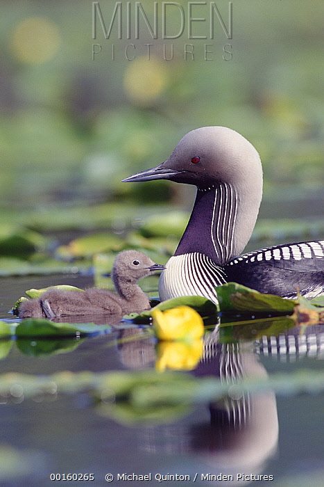 Pacific Loon (Gavia pacifica) parent and chick swimming among water lilies, North America  -  Michael Quinton