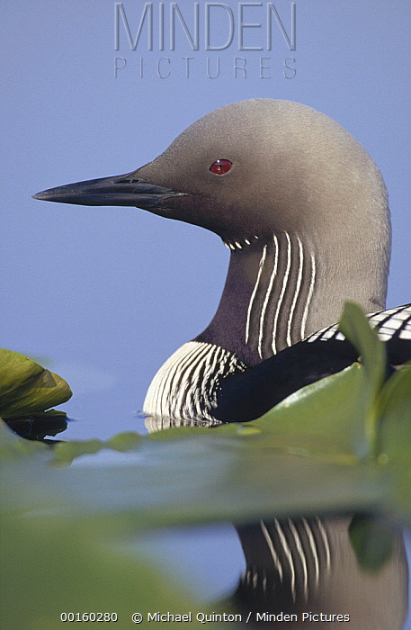 Pacific Loon (Gavia pacifica) adult portrait among water lilies, North America  -  Michael Quinton