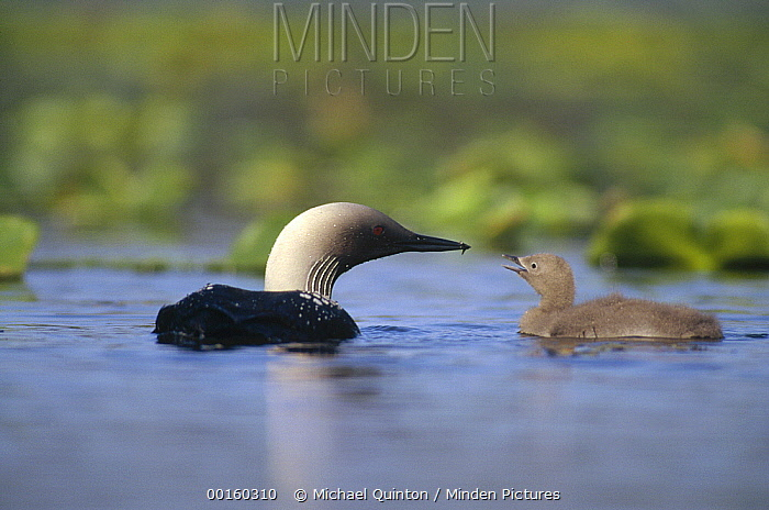 Pacific Loon (Gavia pacifica) parent and chick, North America  -  Michael Quinton
