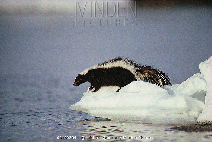 Striped Skunk (Mephitis mephitis) on snow-covered river bank, Yellowstone National Park, Wyoming  -  Michael Quinton