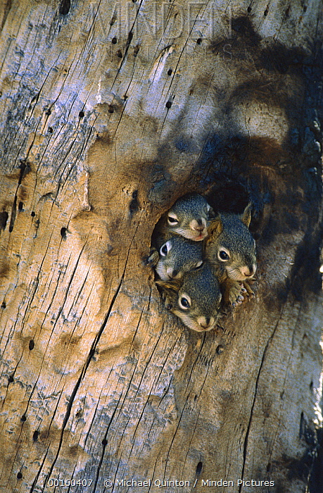 Red Squirrel (Tamiasciurus hudsonicus) four young at entrance to their nest in a tree cavity, Alaska  -  Michael Quinton