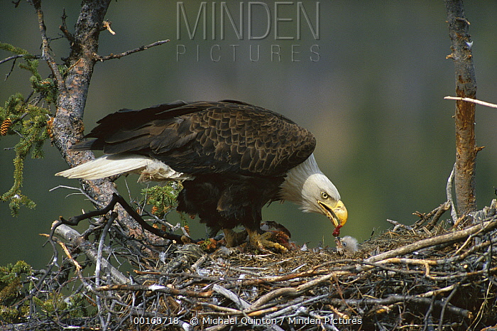 Bald Eagle (Haliaeetus leucocephalus) parent feeding chick in nest, Alaska  -  Michael Quinton