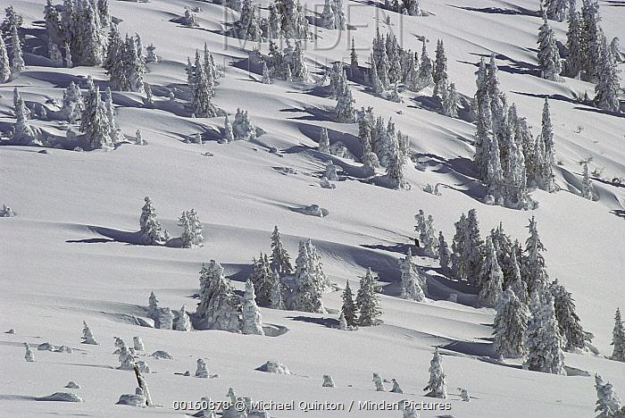 Douglas Fir (Pseudotsuga menziesii) trees casting long shadows in winter, Yellowstone National Park, Wyoming