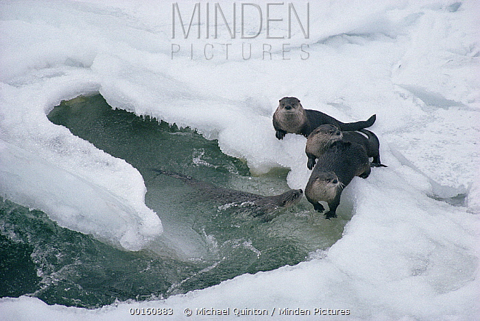 North American River Otter (Lontra canadensis) group playing in snowbanks along stream in winter, Yellowstone National Park, Wyoming  -  Michael Quinton