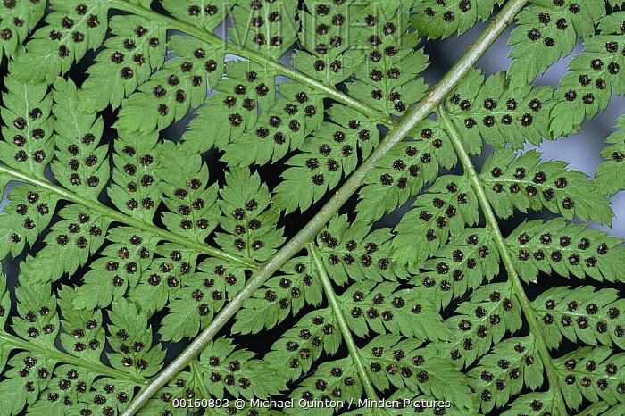 Fern detail showing spore sacks  -  Michael Quinton