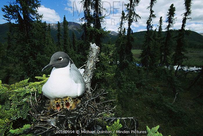 Bonaparte's Gull (Larus philadelphia) on nest in tree with two chicks, boreal pond habitat, Alaska  -  Michael Quinton