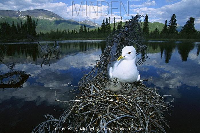 Mew Gull (Larus canus) on nest in tree with two chicks, boreal pond habitat, Alaska  -  Michael Quinton