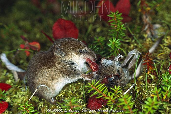 Tundra Shrew (Sorex tundrensis) eating another shrew, boreal pond habitat, Alaska  -  Michael Quinton
