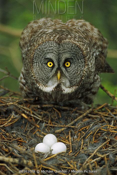 Great Gray Owl (Strix nebulosa) parent protecting eggs in nest, North America  -  Michael Quinton