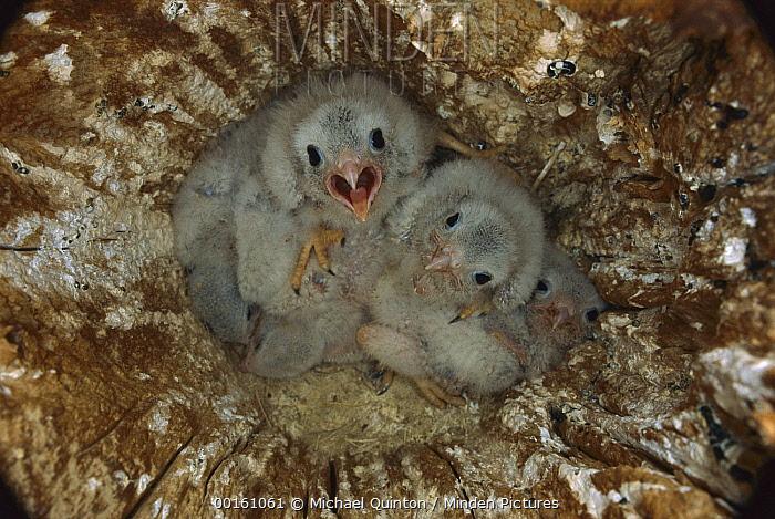 American Kestrel (Falco sparverius) three week old chicks in abandoned northern flicker nest cavity, Slana, Alaska  -  Michael Quinton