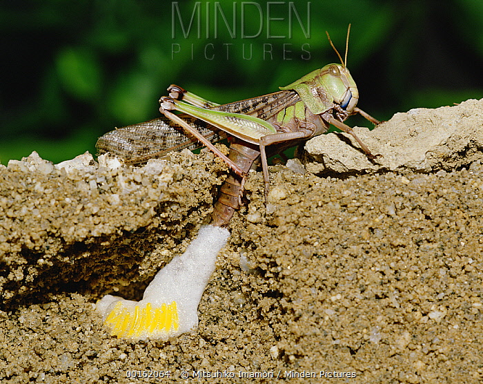Migratory Locust (Locusta migratoria) laying eggs, Shiga, Japan  -  Mitsuhiko Imamori