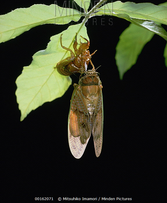Large Brown Cicada (Graptopsaltria nigrofuscata) newly emerged after wings have dried, Shiga, Japan, sequence 7 of 7  -  Mitsuhiko Imamori