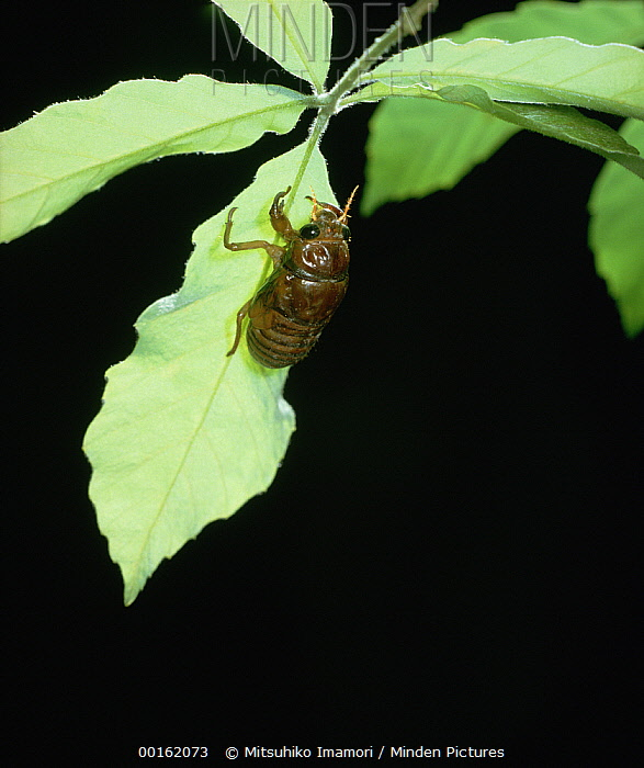 Large Brown Cicada (Graptopsaltria nigrofuscata) in larval form prior to emerging, Shiga, Japan, sequence 1 of 7  -  Mitsuhiko Imamori