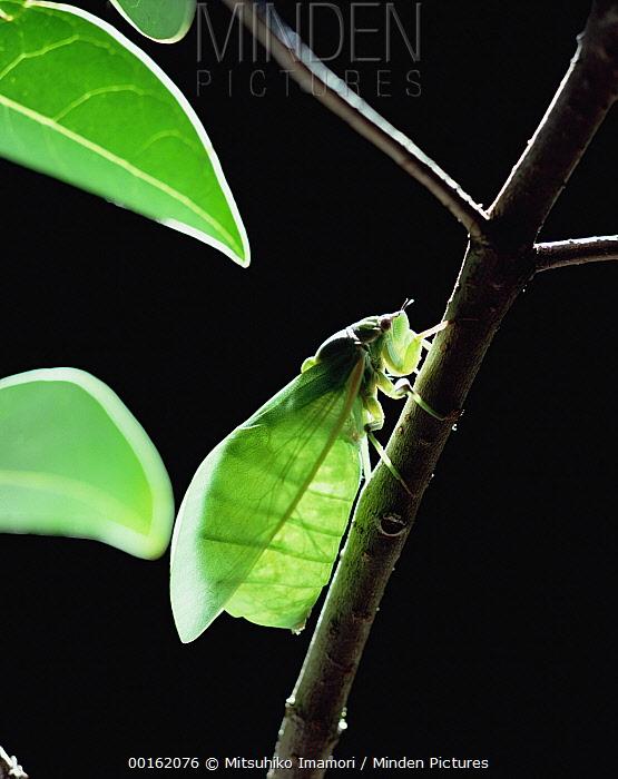Large Brown Cicada (Graptopsaltria nigrofuscata) portrait on branch, Australia  -  Mitsuhiko Imamori