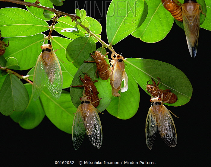 Cicada (Magicicada sp) adults emerge from larval form  -  Mitsuhiko Imamori