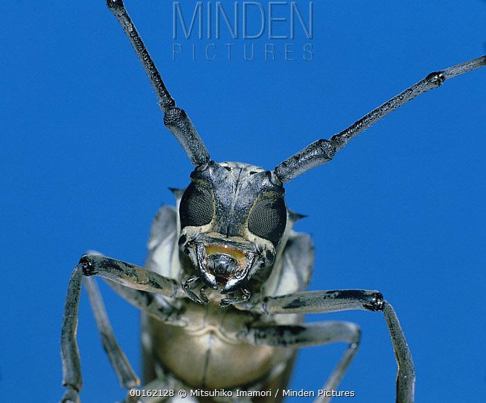 Horn Minden minden pictures stock photos horn beetle batocera