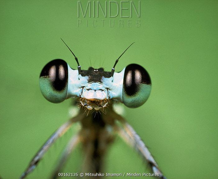 Emerald Damselfly (Lestes sponsa) close up portrait  -  Mitsuhiko Imamori
