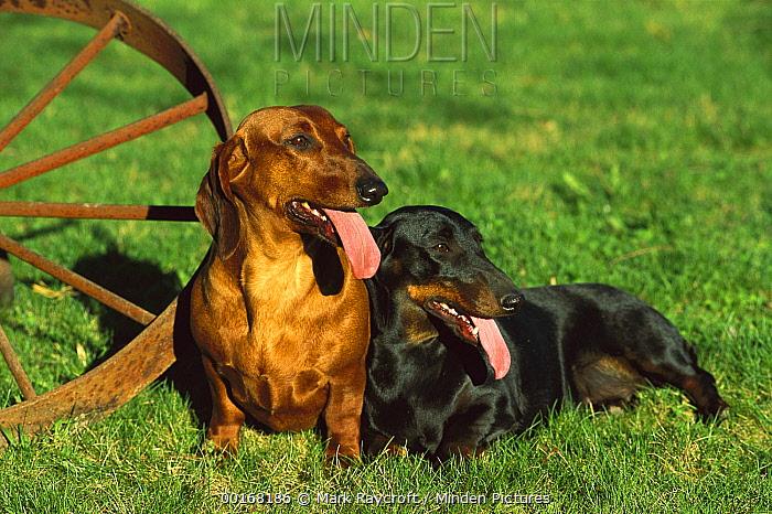 Standard Smooth Dachshund (Canis familiaris) two resting on lawn near wagon wheel  -  Mark Raycroft