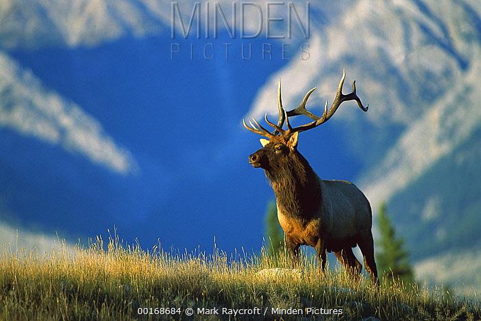 Elk (Cervus elaphus) large bull standing alert in meadow with mountains behind  -  Mark Raycroft