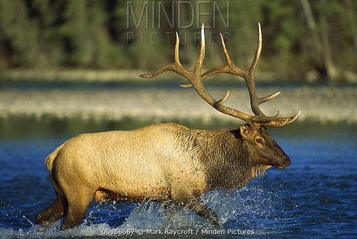 Elk (Cervus elaphus) bull crossing a river  -  Mark Raycroft