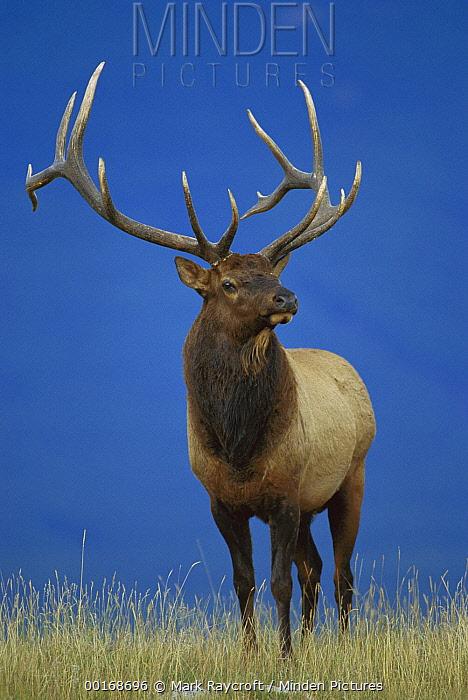 Elk (Cervus elaphus) portrait large male  -  Mark Raycroft